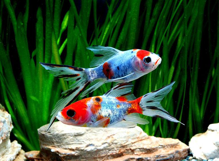 Beliebte Zierfische für den Teich und das Aquarium