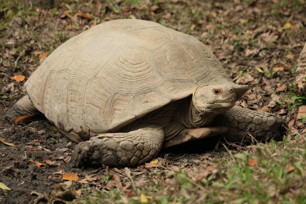 Ägyptische Landschildkröte: Haltung, Steckbrief und Futter