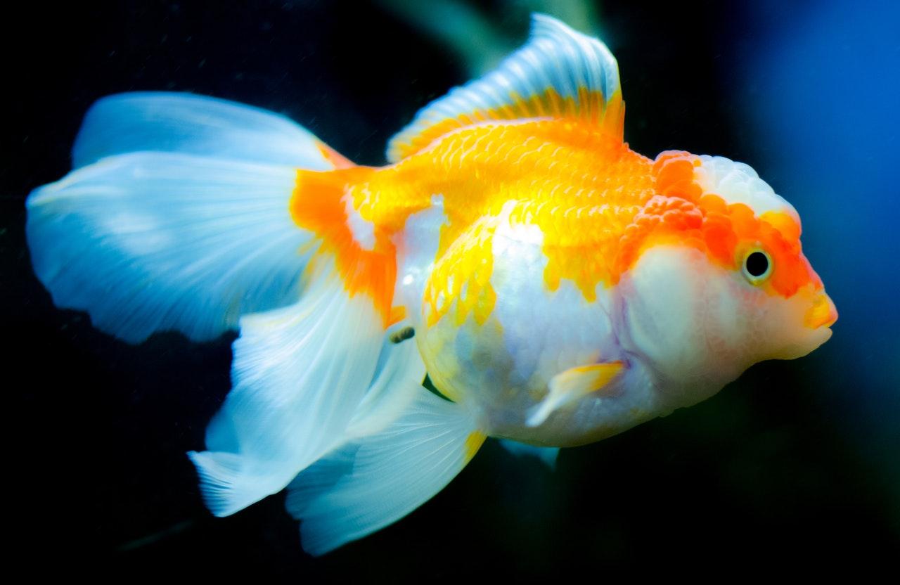 Bauchwassersucht bei Fischen erkennen, behandeln und vorbeugen