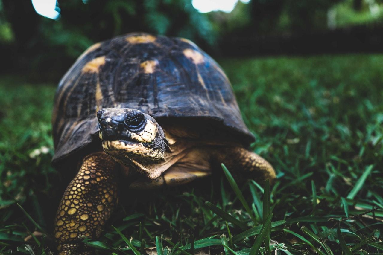 Breitrandschildkröte: Haltung, Steckbrief und Futter