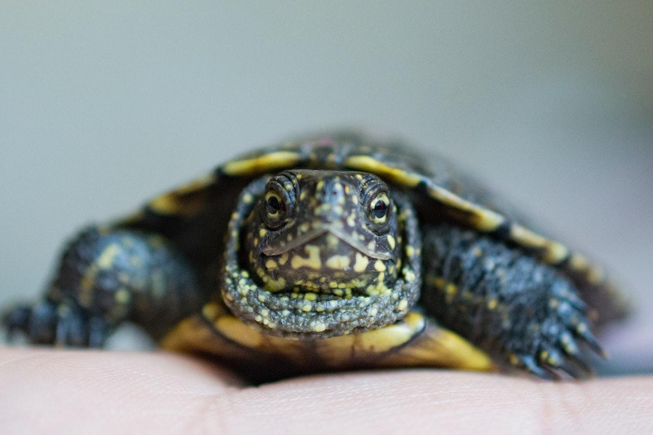 Europäische Sumpfschildkröte: Haltung, Steckbrief und Futter