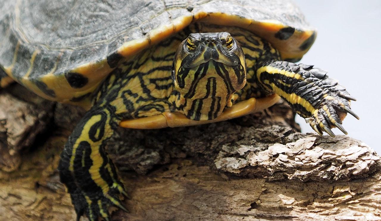 Gelbwangenschildkröte: Haltung, Steckbrief und Futter