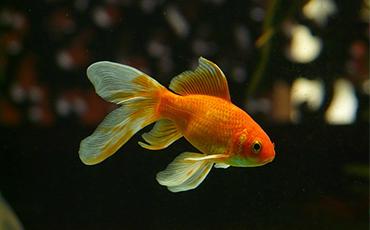 Goldfische: Informationen zu Herkunft, Haltung und Futter
