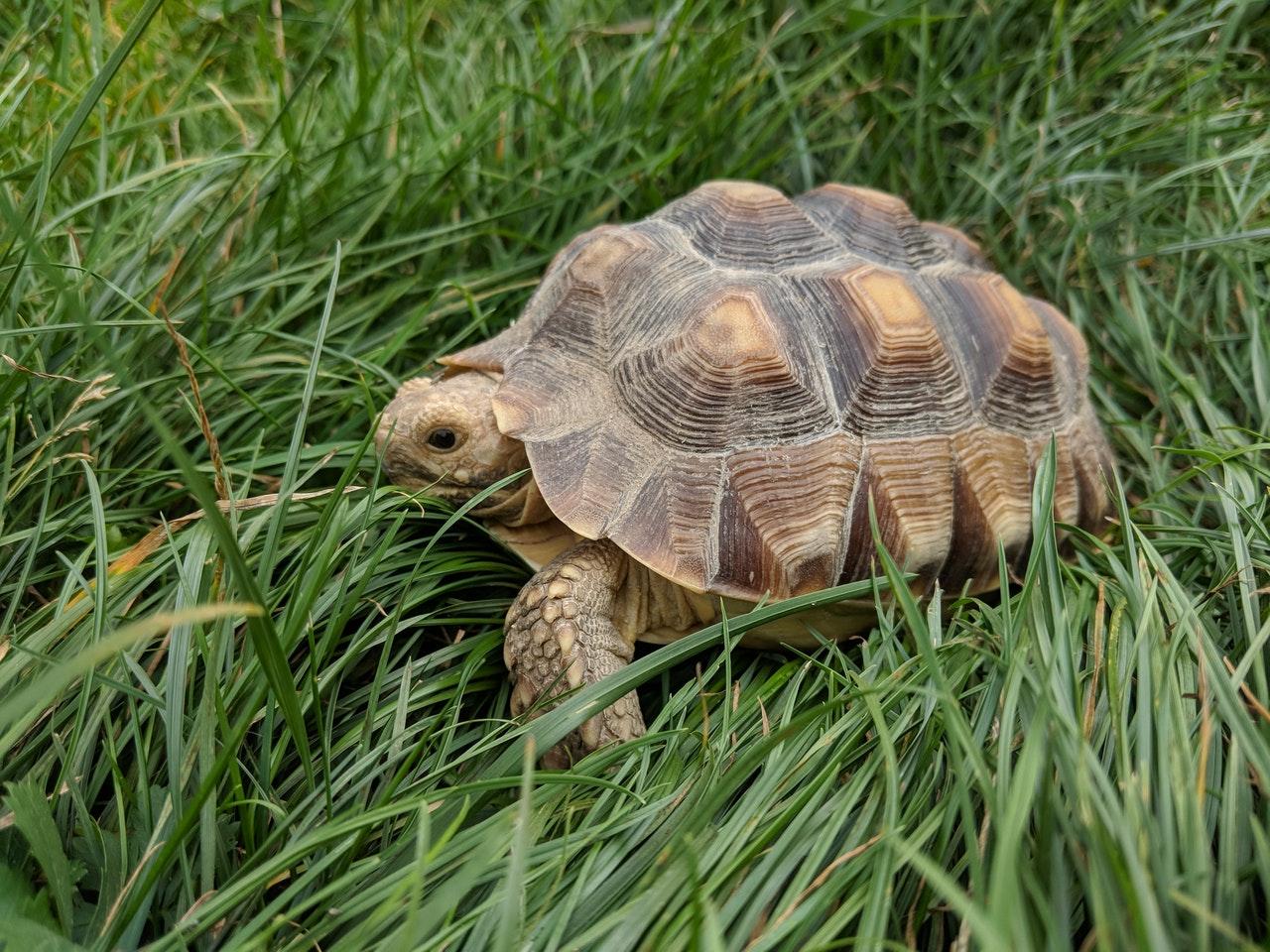 Griechische Landschildkröte: Haltung, Steckbrief und Futter