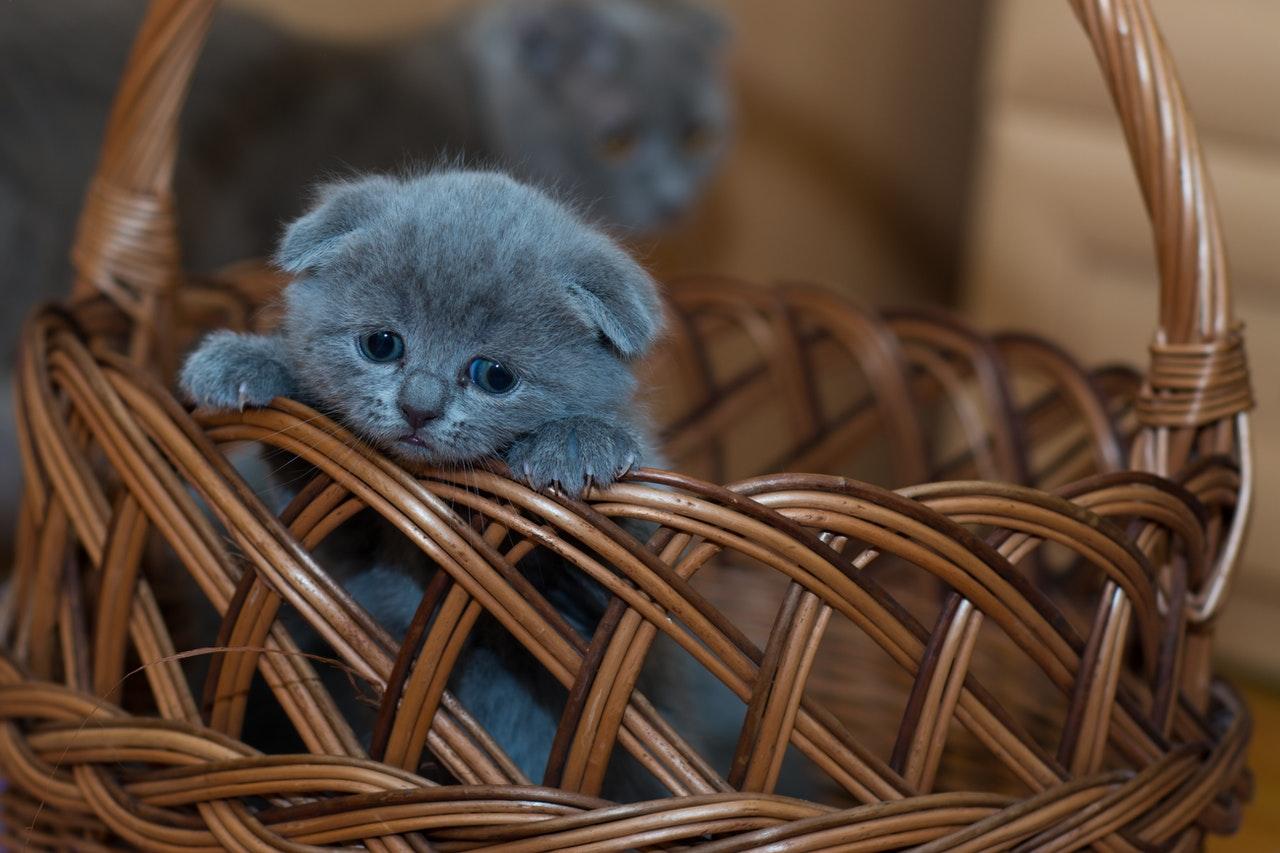 Les chats peuvent-ils pleurer?