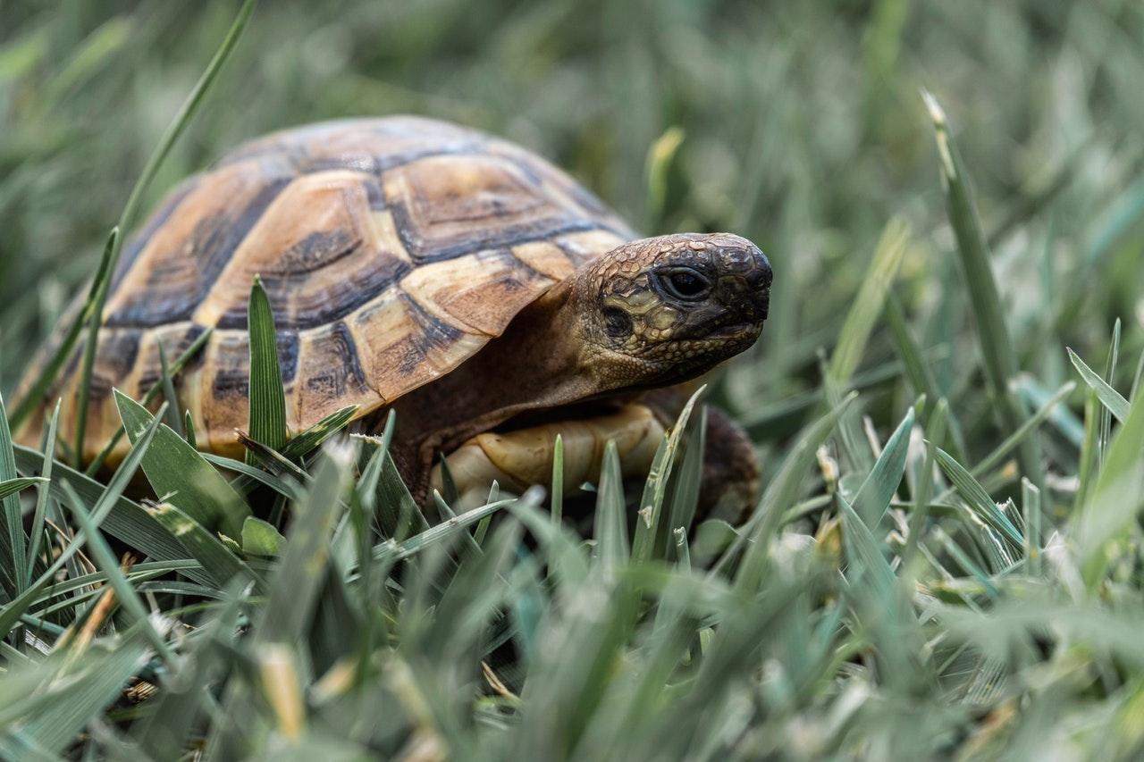 Maurische Landschildkröte: Haltung, Steckbrief und Futter