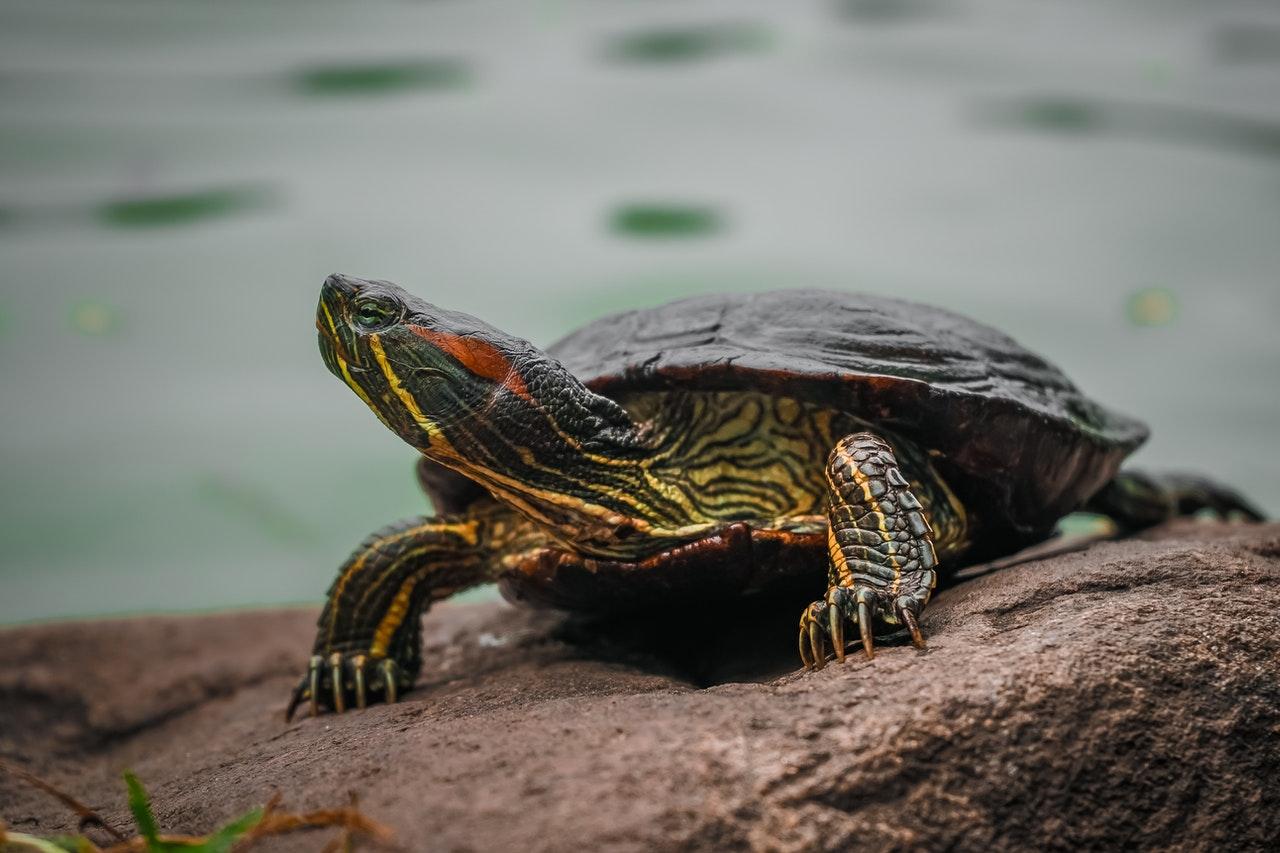 Rotwangen-Schmuckschildkröte: Haltung, Steckbrief und Futter