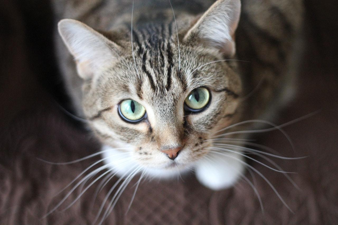 Hvor længe bærer katte?