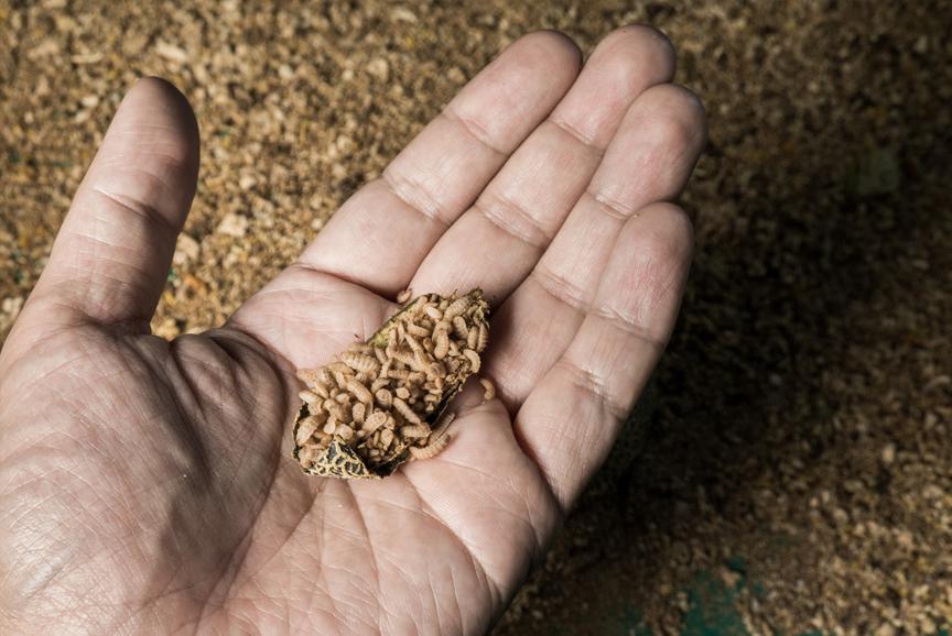 Mehr Nachhaltigkeit dank Insektenprotein