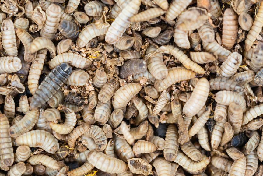 Hermetia illucens als Lieferant für hochwertiges Insektenprotein